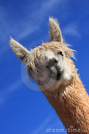 Free Funky Alpaca Stock Photo - 4594500
