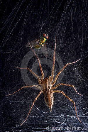 Free Funnel Web Spider And Fly Royalty Free Stock Image - 15668116