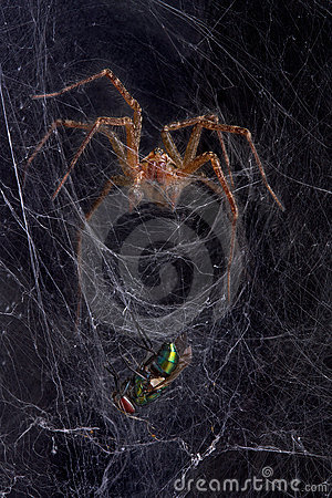 Funnel web spider with fly