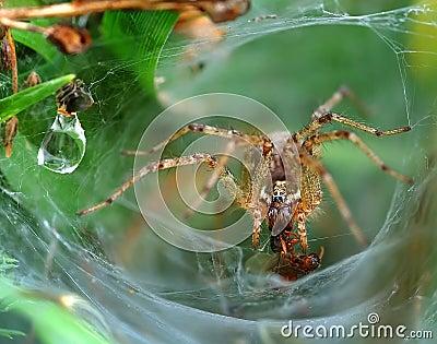 Funnel Web Weaver Grass Spider