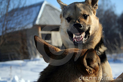 Funny alsatian dog