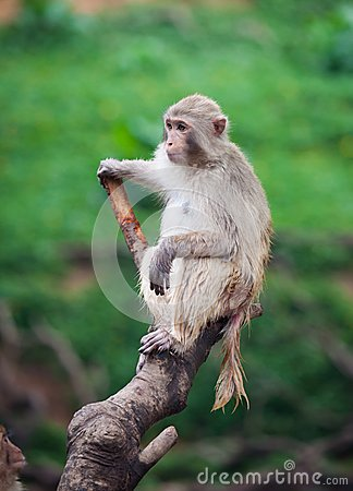Free  Funny Baboon Monkey Stock Images - 56665284