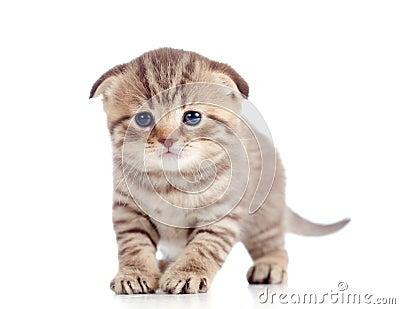 Funny baby fold Scottish kitten