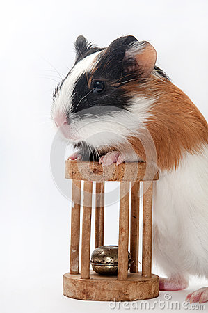 Free FUNNY BABY GUINEA PIG PLAYING TOY Stock Photography - 54540352