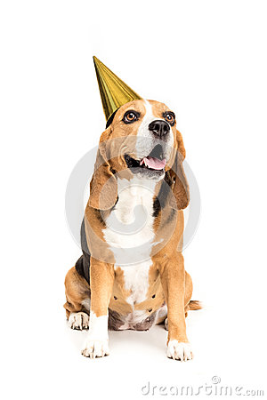 Free Funny Beagle Dog In Golden Party Hat Stock Photos - 99272983