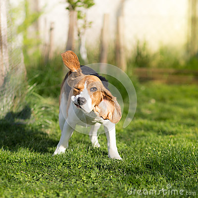 Free Funny Beagle Dog Shaking Stock Images - 52853234