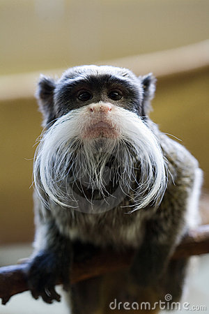 Funny bearded monkey