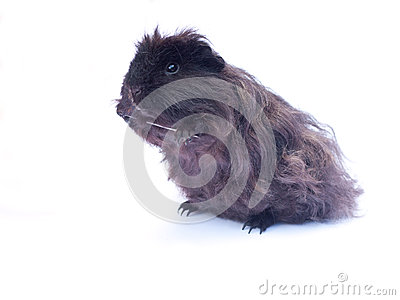Funny black cavy on white
