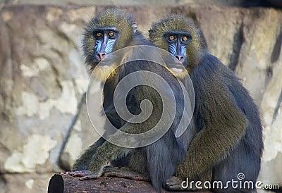 Funny blue face monkeys