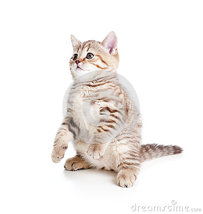 Funny cat kitten standing on hind legs