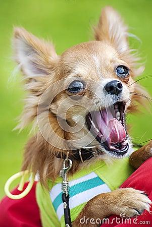 Funny Chihuahua puppy yawning