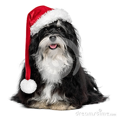 Funny Christmas Havanese dog with Santa hat and white beard