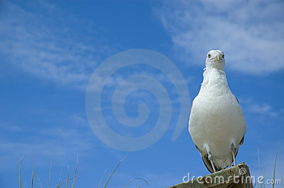 Funny close-up of seagull looking at camera