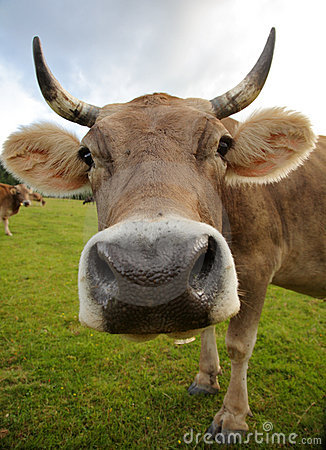 The funny cow