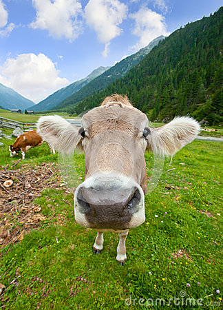 Free Funny Cow Royalty Free Stock Images - 25669649