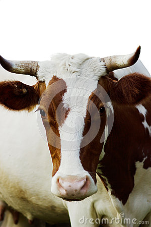 Free Funny Cow Royalty Free Stock Photos - 36289768