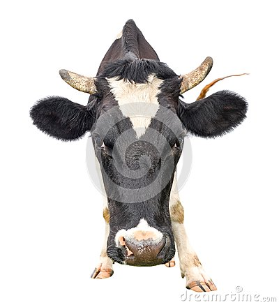 Free Funny Cow Muzzle Close Up. Farm Anim Royalty Free Stock Images - 100183519