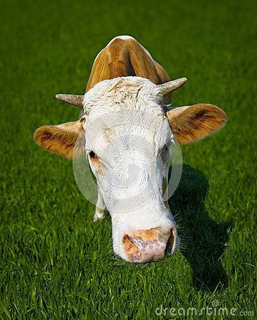 Free Funny Cow On Meadow - A Close-up Portrait Royalty Free Stock Photo - 25091465