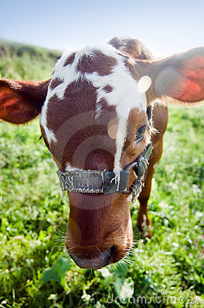 Free Funny Cow Portrait Royalty Free Stock Photos - 5322898