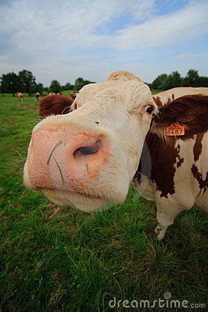 Funny curious cow