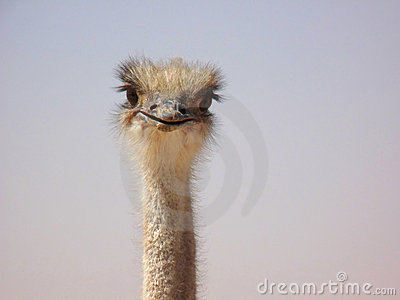 Funny Curious Ostrich