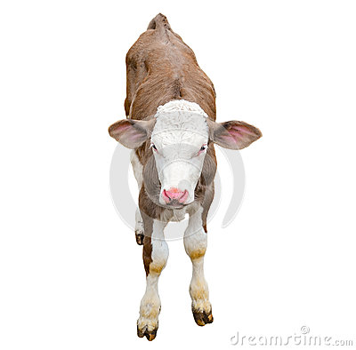 Free Funny Cute Calf Isolated On White. Looking At The Camera Brown Young Cow Close Up. Funny Curious Calf. Farm Animals. Royalty Free Stock Image - 82673036