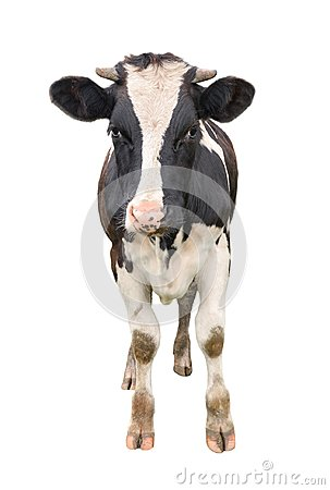 Free Funny Cute Young Cow Full Length Isolated On White. Looking At The Camera Black And White Curious Spotted Cow Close Up. Royalty Free Stock Images - 105618839