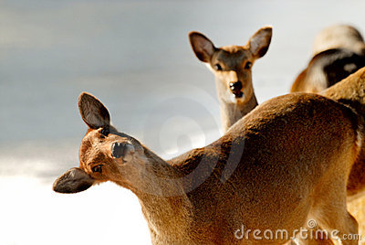 Funny deer