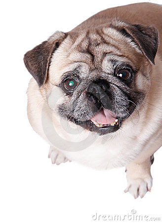 Free Funny Dog Royalty Free Stock Photography - 4533757