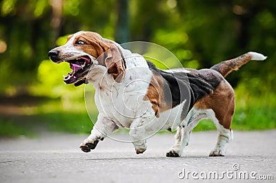 Funny dog Basset hound running