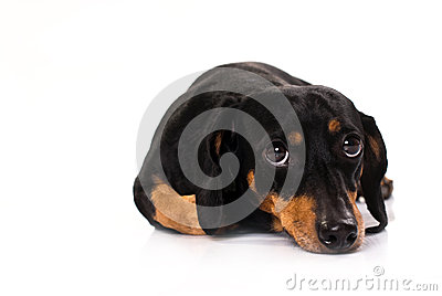 Funny dog from breed Dachshund