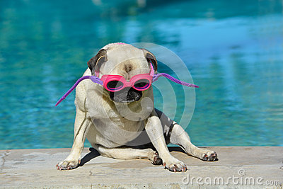 Pug dog with goggles