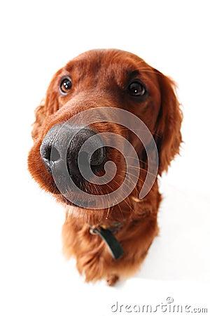 Funny dog  Irish Setter