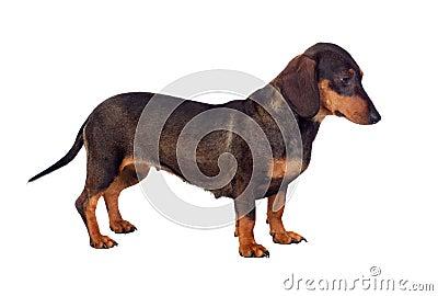 Funny dog teckel