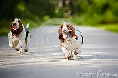 Royalty Free Stock Photography Funny Dogs Basset Hound Running