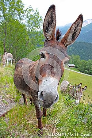 Free Funny Donkey Stock Image - 20439591