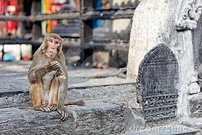 Funny eating monkey in Monkey temple