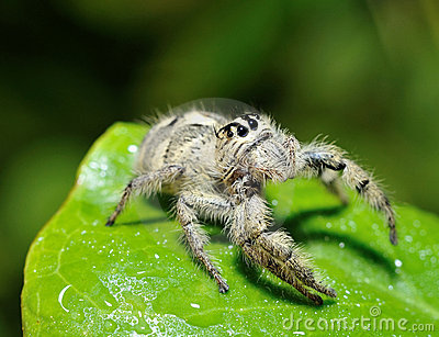 Funny face spider