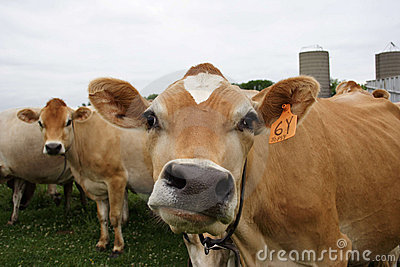 Funny Faced Cow