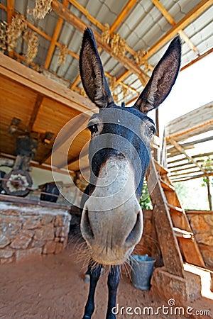 Free Funny Farm Donkey With Long Ears Royalty Free Stock Image - 45615116