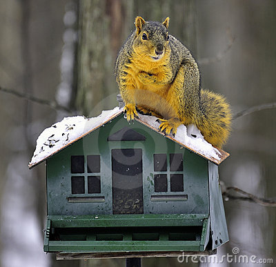 Funny Fox Squirrel