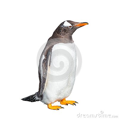 Free Funny Gentoo Penguin Isolated At White Background, Beagle Channe Royalty Free Stock Photography - 117398867