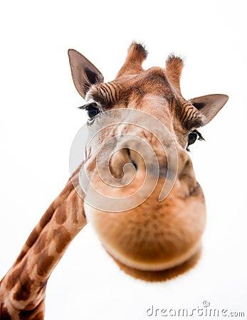 Free Funny Giraffe Stock Photos - 19828823