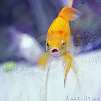 Funny goldfish with mouth open looking at camera.