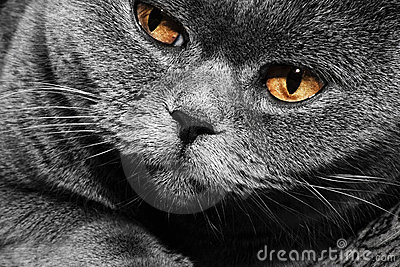 Funny gray British cat