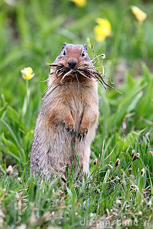 Funny Ground Squirrel