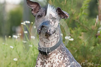 Funny hairless dog
