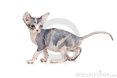 Funny hairless sphynx kitten