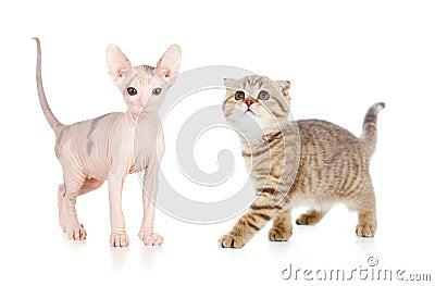 Funny hairless sphynx kitten isolated