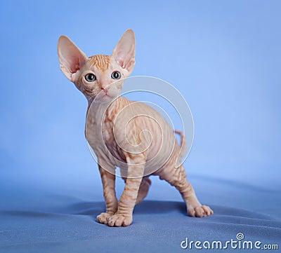 Funny hairless sphynx tabby kitten on blue